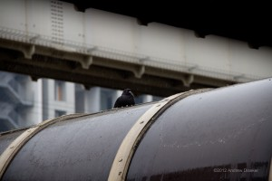 rain-soaked pigeon atop a roof