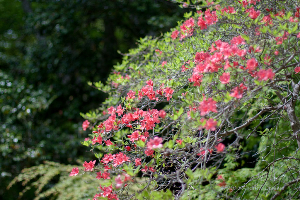 bush of blooming flowers, Fukuurajima 2010