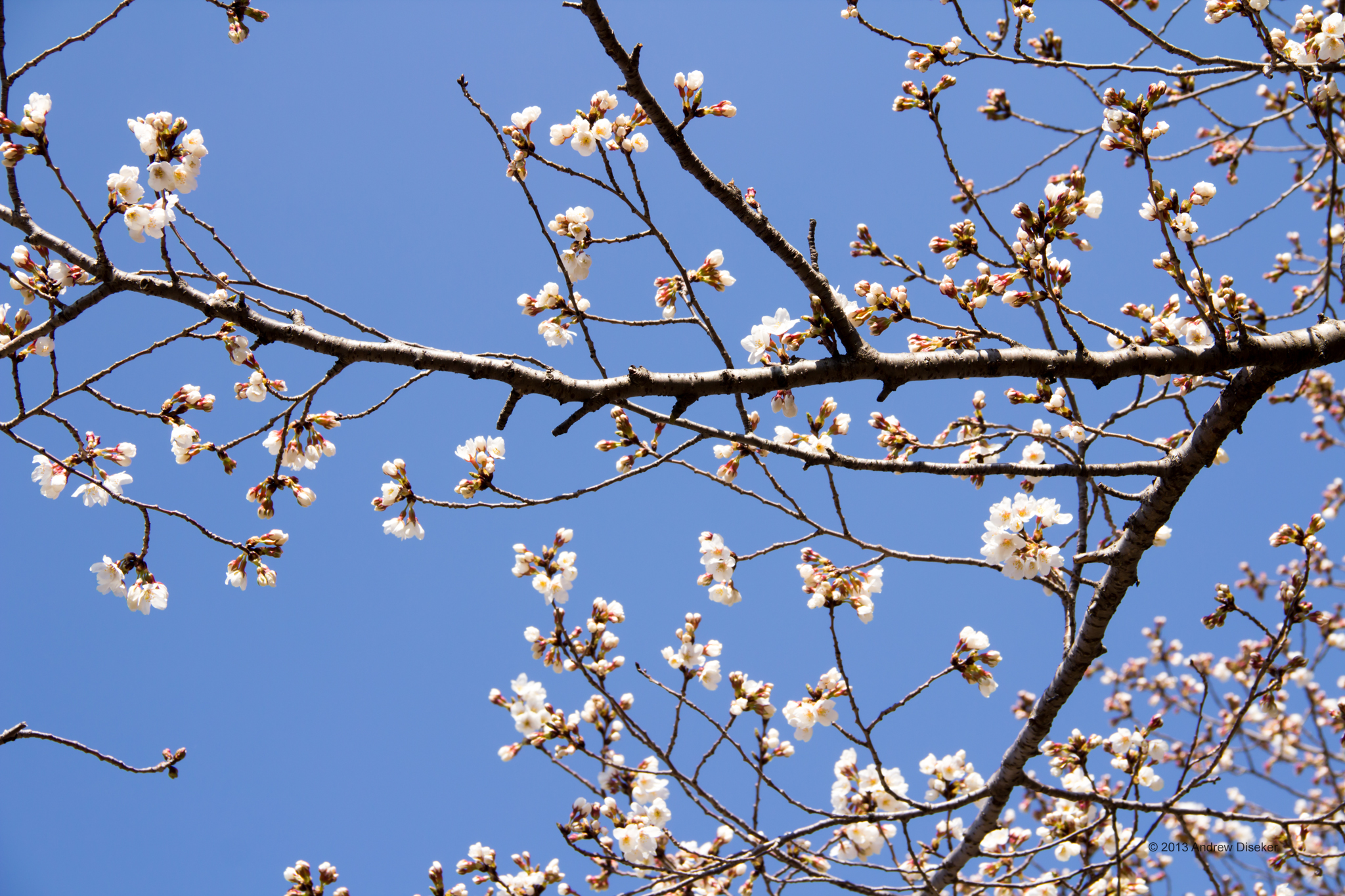 Cherry blossoms and branches against cloudless blue sky