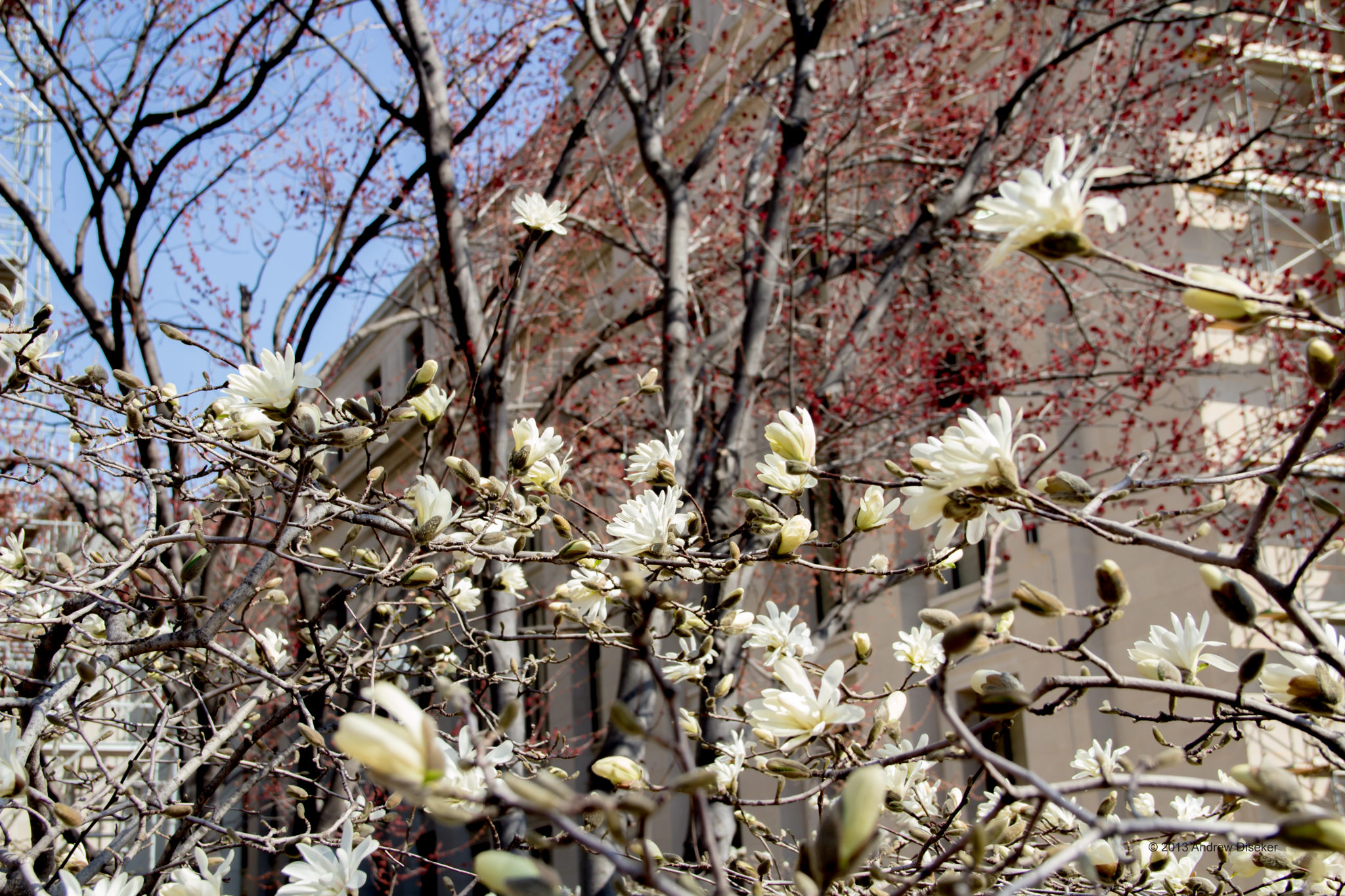 White flowers and red tree buds