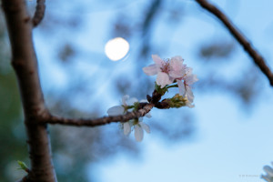 Sakura by moonlight